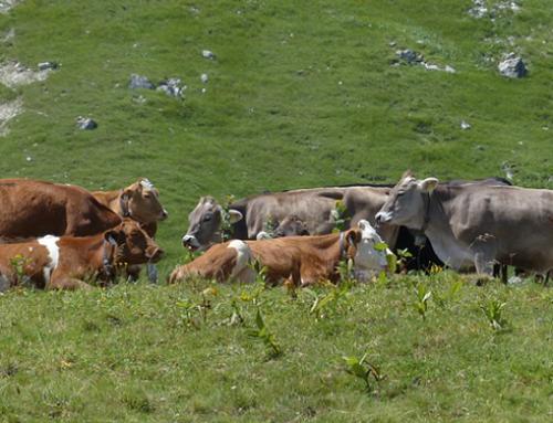 Linee guida per la nutrizione estiva della vacca da latte