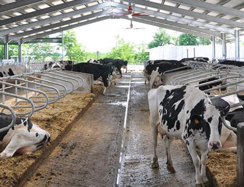 Si campa con 100 vacche?
