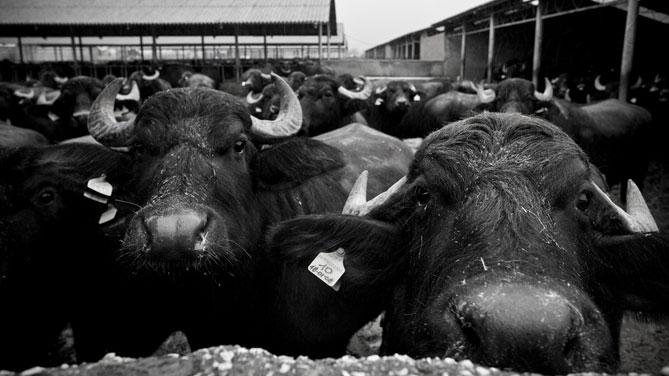 Il prolasso nella specie bufalina