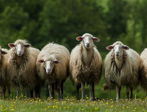 Parlamento Europeo, interrogazione di Momchil Nekov sulla tracciabilità ed identificazione di ovini e caprini