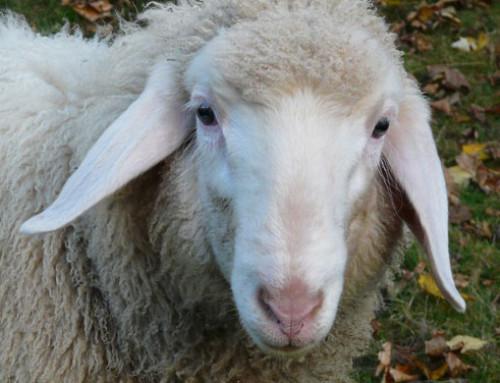 I numeri dell'allevamento ovino in Italia