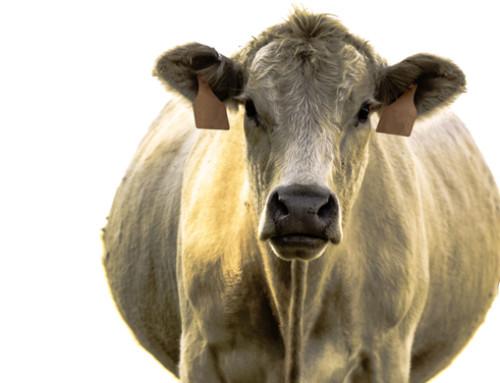 Diagnosi ecografica di gravidanza nella specie bovina