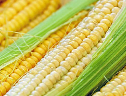 La risposta del Sottosegretario Alessandra Pesce alle interrogazioni in Commissione sul mais OGM 810