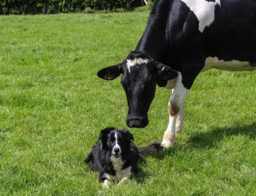 Il controllo della neosporosi bovina