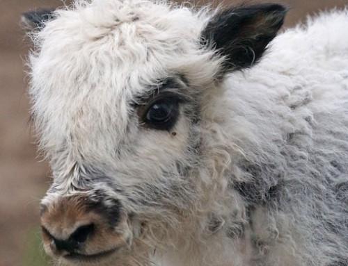 Intolleranza al lattosio e consumo di prodotti lattiero-caseari: lo studio sulle popolazioni della Mongolia