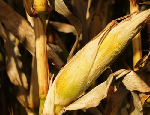Mais: firmato dalla filiera l'accordo quadro per promuovere la coltivazione