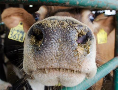 Carry-over di residui di farmaci veterinari in alimenti: FAO/OMS al lavoro per raccomandazioni sulla gestione del rischio