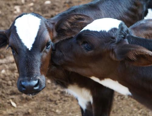 I vitelli da latte più pessimisti sono più selettivi nei rapporti sociali