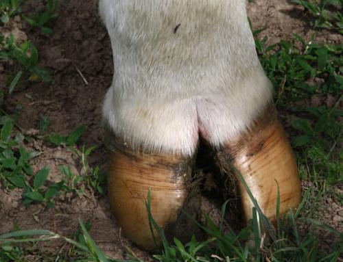 ICAR: disponibile una nuova serie di linee guida sulla zoppia nei bovini