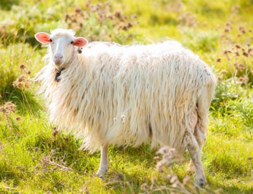 Identificate le regioni del genoma ovino che contengono le varianti geniche che condizionano produzione e qualità chimica del latte nella pecora di razza Sarda