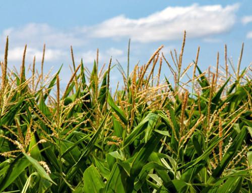 Gazzetta Ufficiale, iscritte al registro nazionale nuove varietà di mais