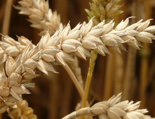 News Ismea mercati, mais ed alimenti per il bestiame: stabili i listini di crusche e farinacci dei grani tenero e duro