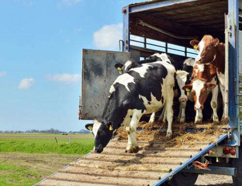 Esportazioni verso Paesi Terzi di animali vivi: nota del Ministero della Salute