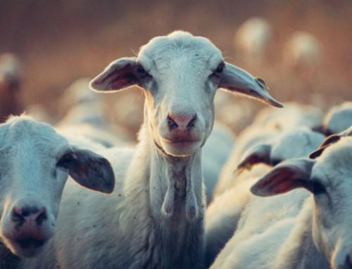 Fondo nazionale latte ovino, nella GU italiana il decreto MiPAAF di definizione di criteri e modalità di ripartizione