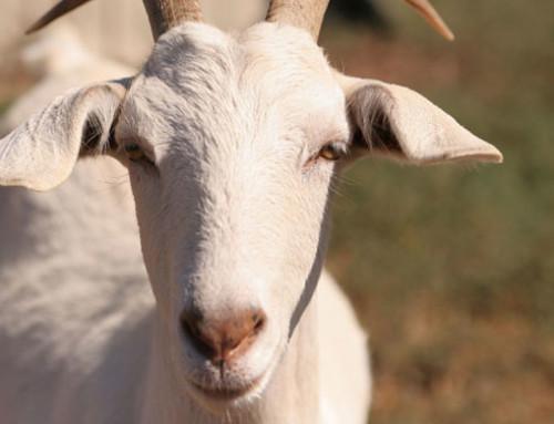Probiotici nei prodotti a base di latte di capra: efficacia e capacità di migliorare le caratteristiche sensoriali