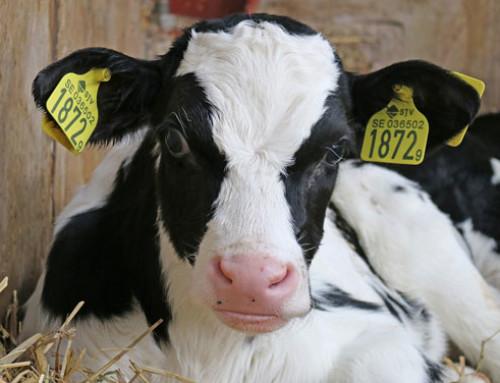 L'effetto della composizione del latte sostitutivo sul microbiota intestinale dei vitelli da latte preruminanti