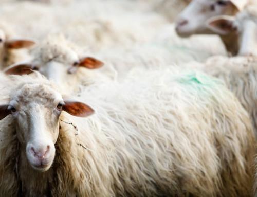 Toscana: rilancio del settore zootecnico, interventi per 2 milioni