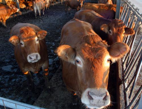 Effetti del lievito vivo sul valore nutritivo della dieta nei bovini da carne