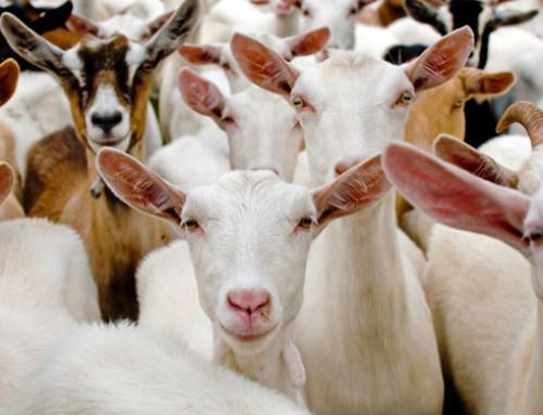 Settore ovicaprino, interrogazione UE sulla realizzazione di macelli locali e mobili: la Commissione sostiene lo sviluppo purché nel rispetto di sicurezza alimentare e protezione degli animali