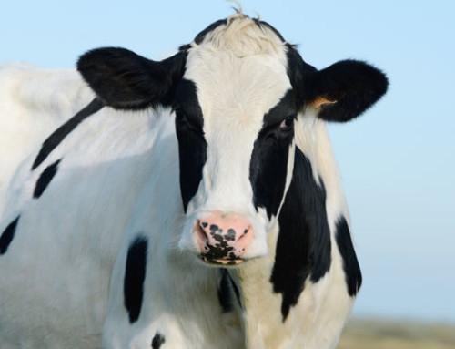 Il progetto DISARM lancia una nuova gamma di piattaforme per condividere strategie per ridurre la necessità di trattamenti antibiotici nei bovini
