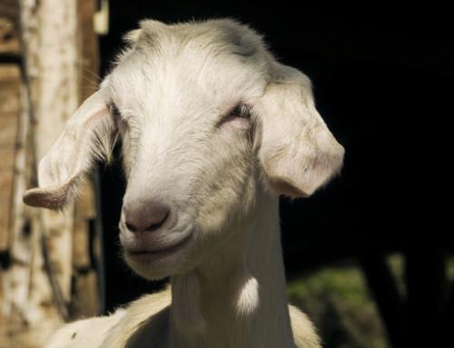Gli allevamenti caprini di fronte al Coronavirus: nota tecnica dell'IDELE per produttori di formaggi e conferenti di latte