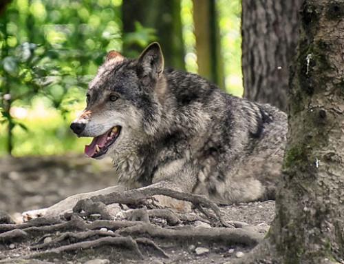 Veneto, lupi: nel 2019 198 attacchi e 480 capi predati. Regione rifinanzia il fondo indennizzi e prevenzione con 250 mila euro