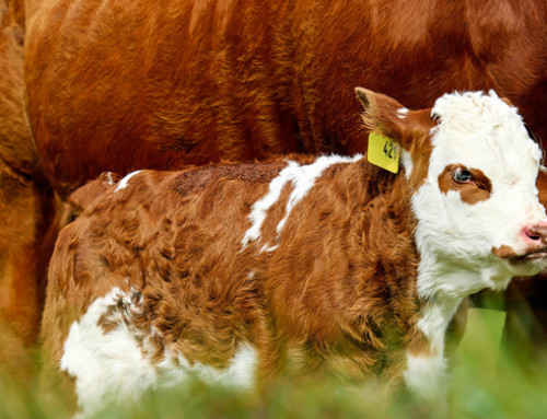 Sistemi alternativi alla separazione precoce vacca-vitello: in Italia si può fare latte così etico? Partecipa all'indagine dell'Universita di Padova