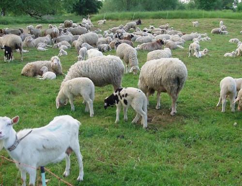 Ministero della Salute: animali d'allevamento, semplificazioni in arrivo per lo spostamento