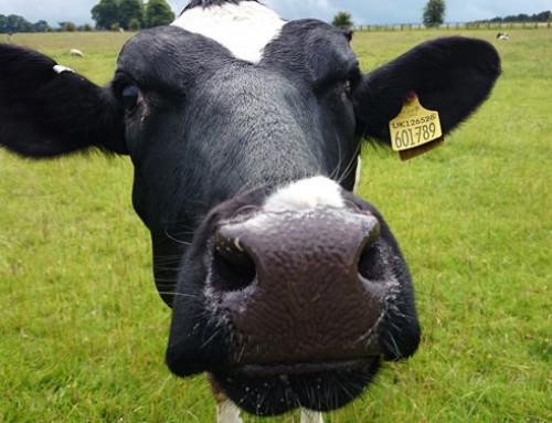 Aggiornamento epidemiologico per i casi di Bluetongue sierotipo 8 in Germania: nuovo focolaio in allevamento bovino