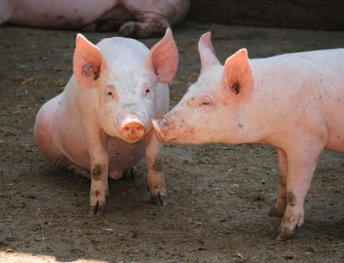 Un'indagine sulla percezione da parte dell'opinione pubblica Cinese del benessere degli animali d'allevamento