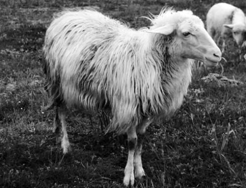 Protesta dei pastori sardi: a che punto siamo? Intervista a Salvatore Palitta, presidente del Consorzio del Pecorino Romano