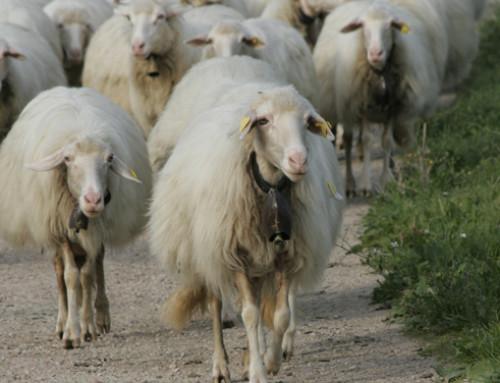 Coldiretti Sardegna: record di vendite per il Pecorino Etico Solidale