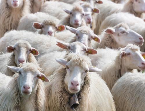 La competitività della filiera ovina in Italia: un report di Ismea