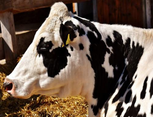 Mortalità bovina come indicatore di benessere animale negli allevamenti di bovini da latte