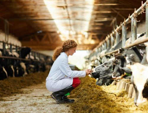 Il riconoscimento del dolore nel bovino