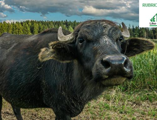 La bufala e la vacca sono molto diverse – Parte II