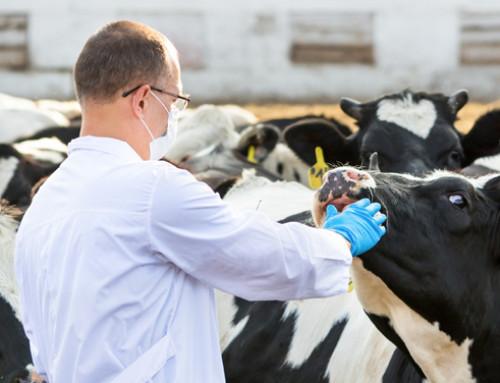 La gestione del dolore bovino