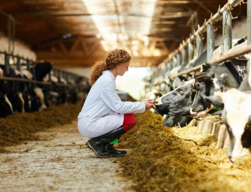 La steatosi epatica della bovina da latte: una minaccia nascosta