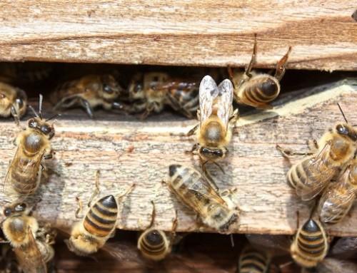 """Registrata proposta di cittadini UE """"Salviamo le api! Protezione della biodiversità e miglioramento degli habitat degli insetti in Europa"""""""