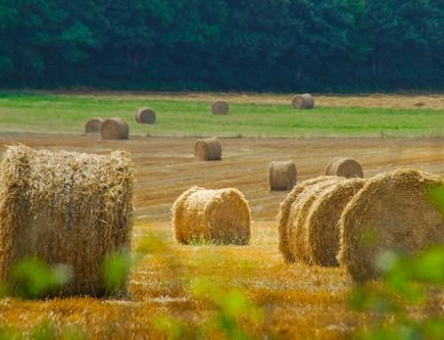 Agricoltura, approvato in Conferenza Stato Regioni il Fondo di competitività per rafforzare le filiere: tra queste, anche carne ovina e latte di bufala