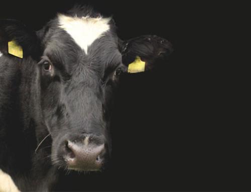 Invited review: il benessere dei bovini da latte – concetti chiave e ruolo della ricerca