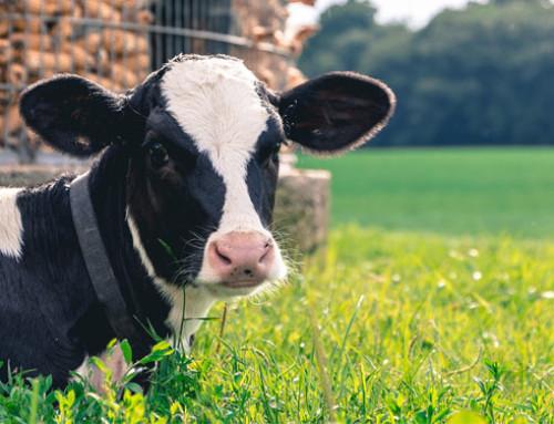 Prebiosi e salute dei vitelli