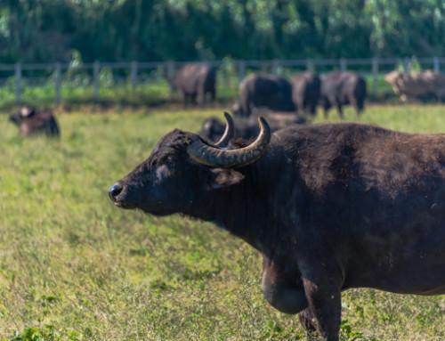 Utilizzo del Sistema di rilevamento parti nella bufala presso l'IZS dell'Abruzzo e del Molise