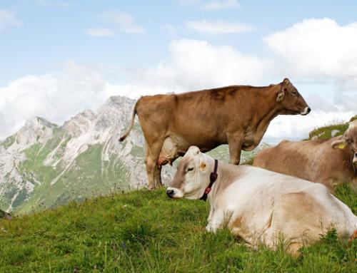 Valle d'Aosta, l'UE autorizza la Regione a concedere aiuti agli allevatori per la pratica dell'alpeggio