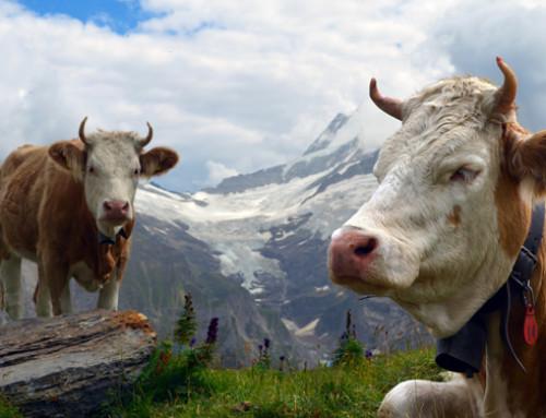 Lombardia. Agroalimentare, Rolfi-Sertori: Bitto Dop è simbolo della montagna lombarda e racconta i valori dei suoi abitanti