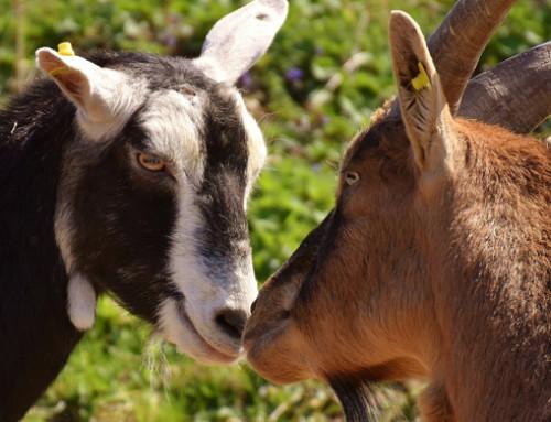 Le capre distinguono tra vocalizzazioni emozionali positive e negative