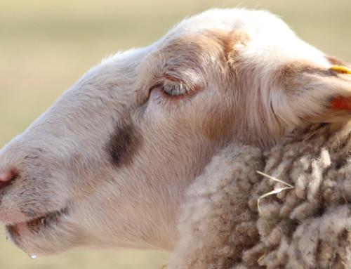 Bisogni e soluzioni per migliorare la produttività del settore ovino in Europa e Turchia: se ne discuterà al Seminario Finale di SheepNet