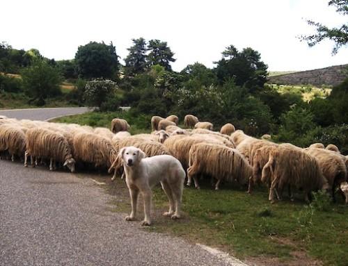 Prezzo del latte ovino sardo, AGCM su come dare maggiore stabilità al mercato del Pecorino Romano DOP