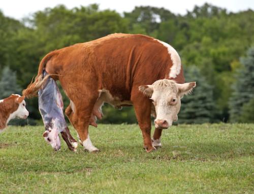 La ritenzione della placenta nella bovina: fisiopatologia e fattori di rischio
