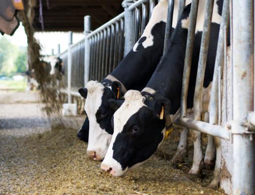 Risposta delle bovine in lattazione alla supplementazione di Selenio organico Selsaf durante l'estate